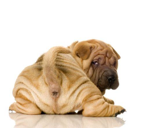 44982-dogs-shar-pei